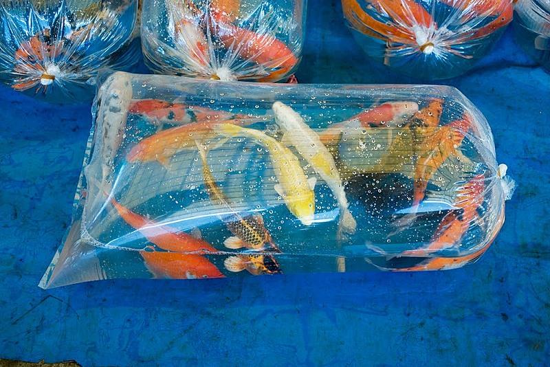 Vận chuyển cá cảnh đi xa an toàn